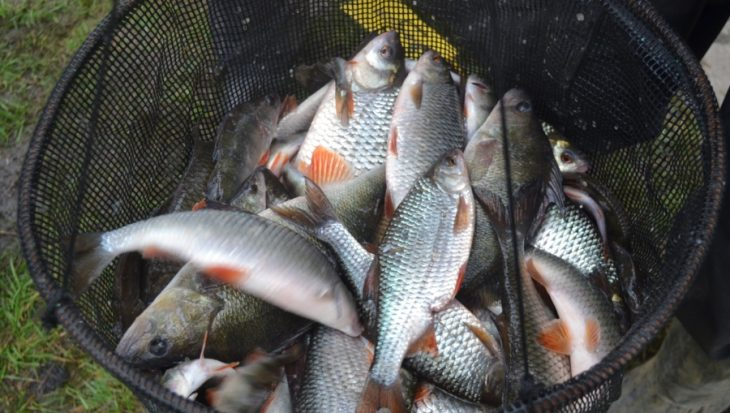 Zuidlaren weer vol met vis (Verslag)