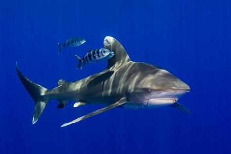 Definitieve, internationale bescherming voor Caribische haaien op initiatief van Nederland