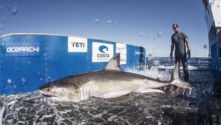 Wetenschappers testen het gebruik van nieuwe ruimtevaarttechnologie om meer te weten te komen over witte haaien