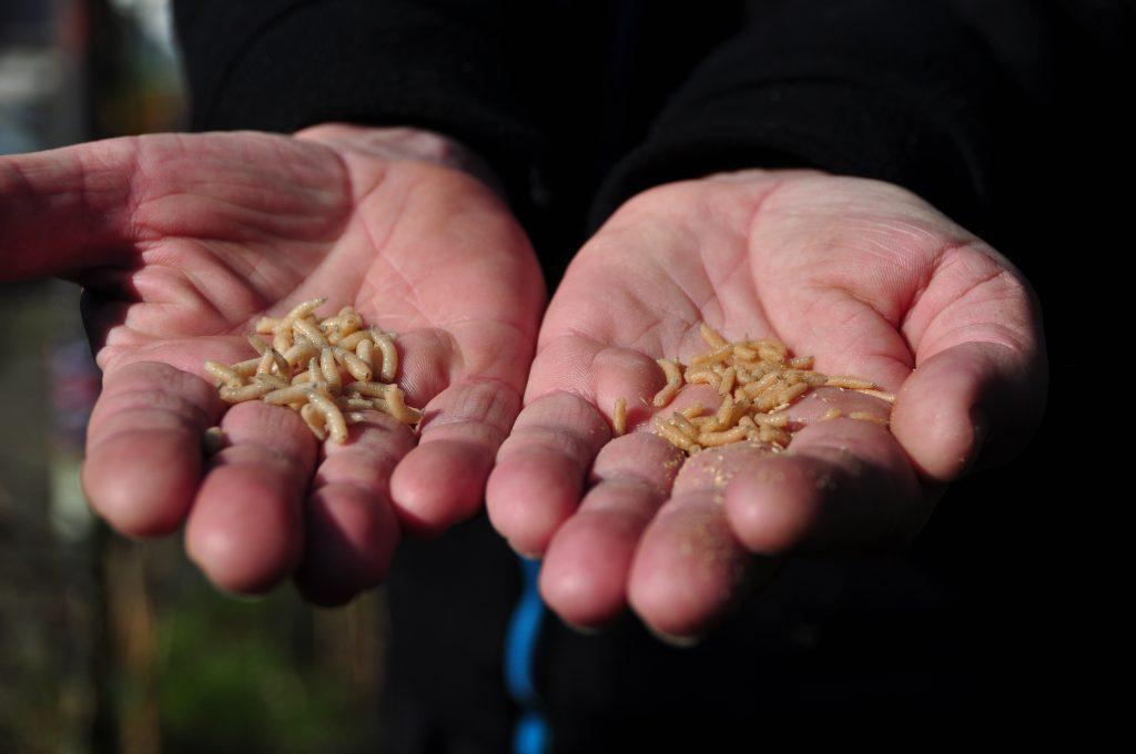Jan van Schendel maden en pinkies voer in topconditie