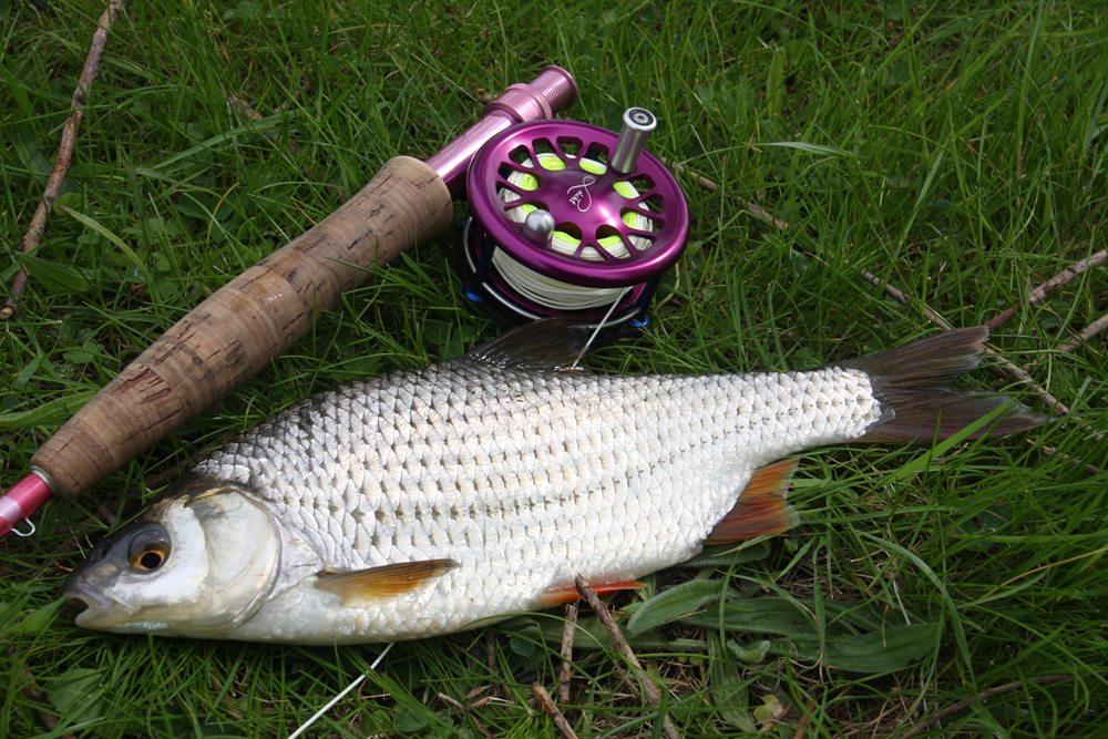 Veel sportvissers beginnen met het vissen met de vaste hengel op blankvoorn, je kunt ook bij het vliegvissen veel leren van het vissen op deze vissoort.