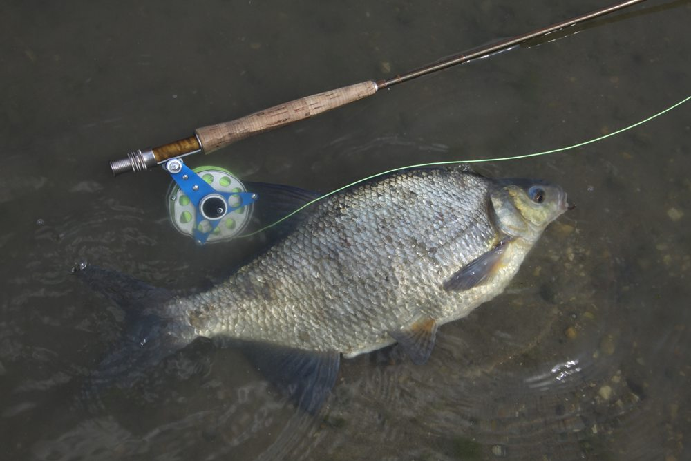 Zo'n brasem betekent een mooie vangst op licht materiaal.