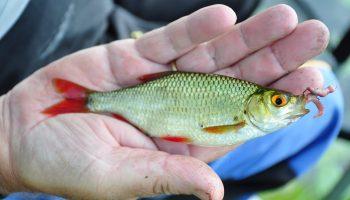 Deze zomer organiseren Sportvisserij Nederland en de federaties in samenwerking met lokale hengelsportverenigingen een ZomerVISkaravaan.