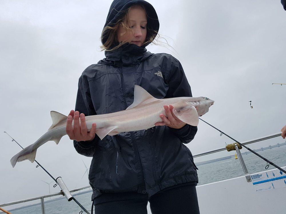 Zeehondencentrum Pieterburen richtte een speciale haaieneducatiezaal in en in de voordelta van de Oosterschelde gingen vissers de zee op om gevlekte gladde haaien te vangen en meten.