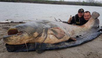 Dertigste meerval zwaarder dan 100 kilogram