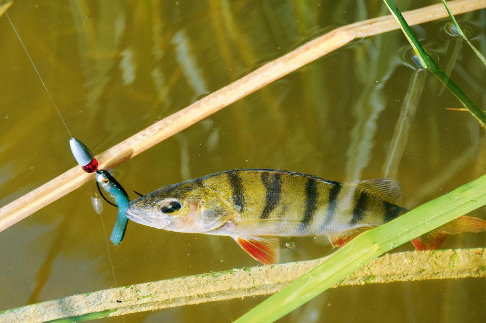 Tussen oude takken en fris groen loeren de roofvissen graag. Deze baars pakte er de Texas-Rig.