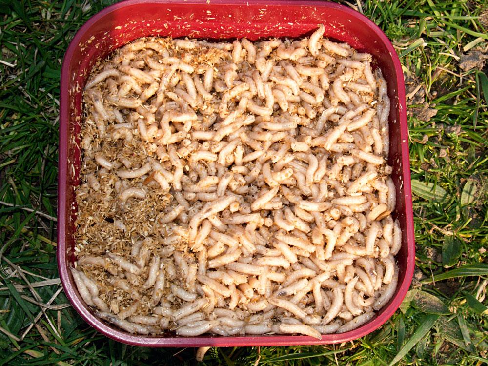 Om de windes een zo afwisselend mogelijke kost aan te bieden, horen maden (boven) en versnipperde wormen (onder) in het lokvoer.