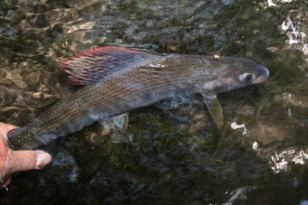 Het vangen en weer onbeschadigd terug zetten van vis is standaard binnen het vliegvissen.