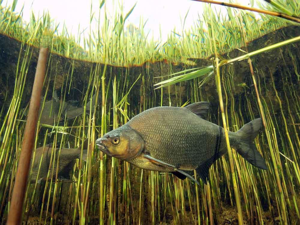 De verwachting is dat de visstand zich te zijner tijd zodanig heeft hersteld dat de vangsten van sportvissers weer zijn toegenomen en een deel van de brasem en blankvoorn weer duurzaam door beroepsvissers te vangen is.
