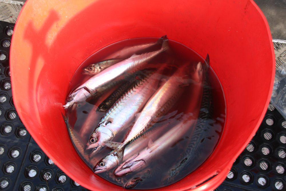 De dag start zoals altijd met de vangst van aasvissen.