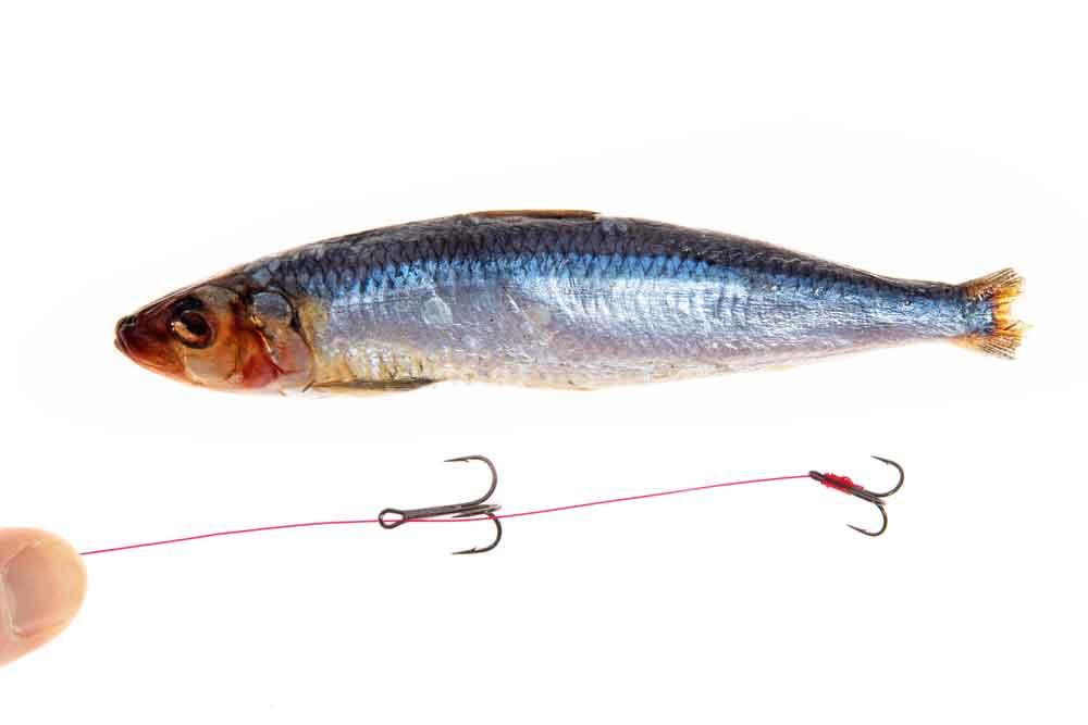 De afstand tussen de twee dreggen moet aangepast zijn aan het formaat van de aasvis. De haken worden later in de flanken van de vis gedrukt.