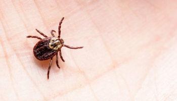 De teek is een klein spinnetje dat de ziekte van Lyme kan overbrengen. Deze ziekte kan desastreuze gevolgen hebben op de rest van jouw leven.
