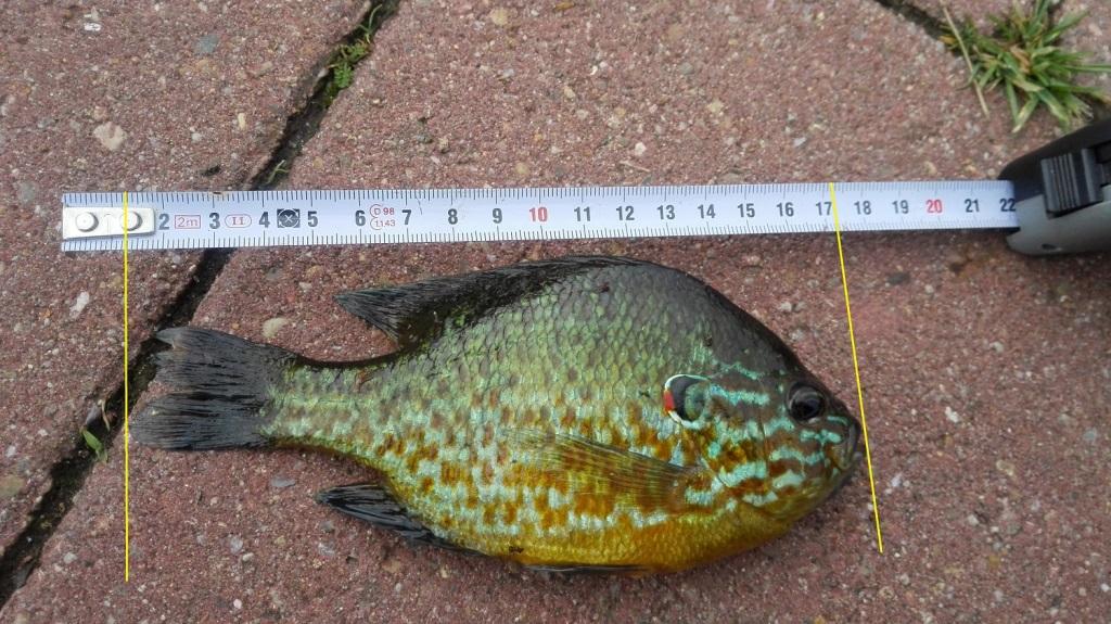 zonnebaars 16 cm record