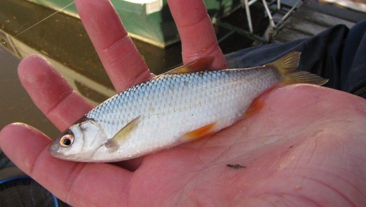 Voorn vissen in het voorjaar, zomer, najaar en winter