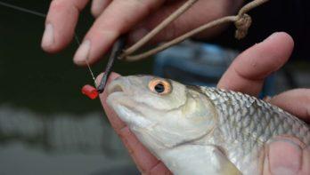 Welk aas voor vissen op voorn?