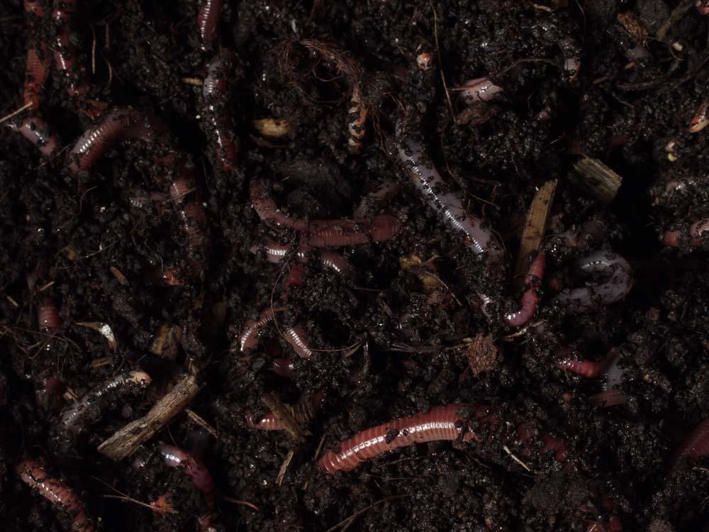 voorn vissen met wormen