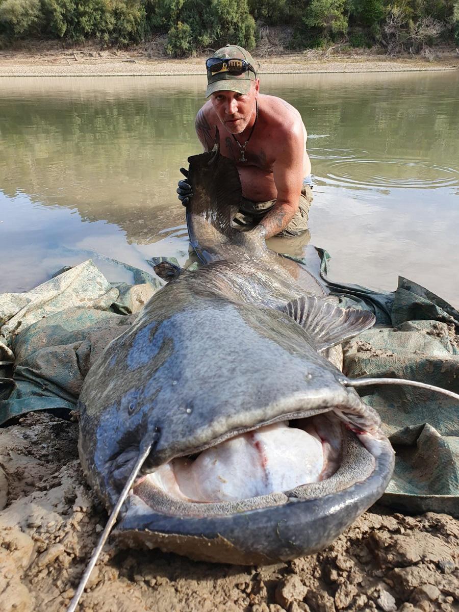 Twee van de grote meervallen van ruim 80 kg zwaar...