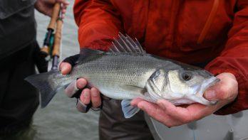 Zeebaars 'bag limit' gaat naar twee vissen in 2020
