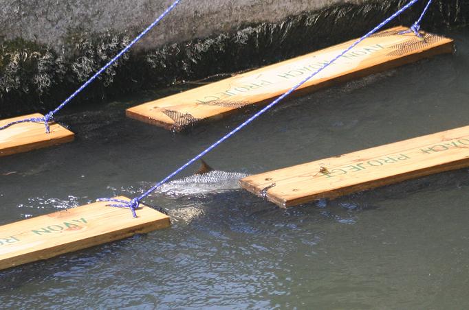 Blankvoorns paaien op de Avon rond de 'spawning boards'; kunstmatig gefabriceerde plankjes met daaronder mesh-materiaal waar de eitjes in blijven hangen.