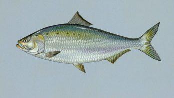 Uitgestorven Vis duikt op in Haringvliet