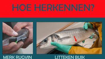 Gezocht: zeventig gezenderde zeebaarzen uit België
