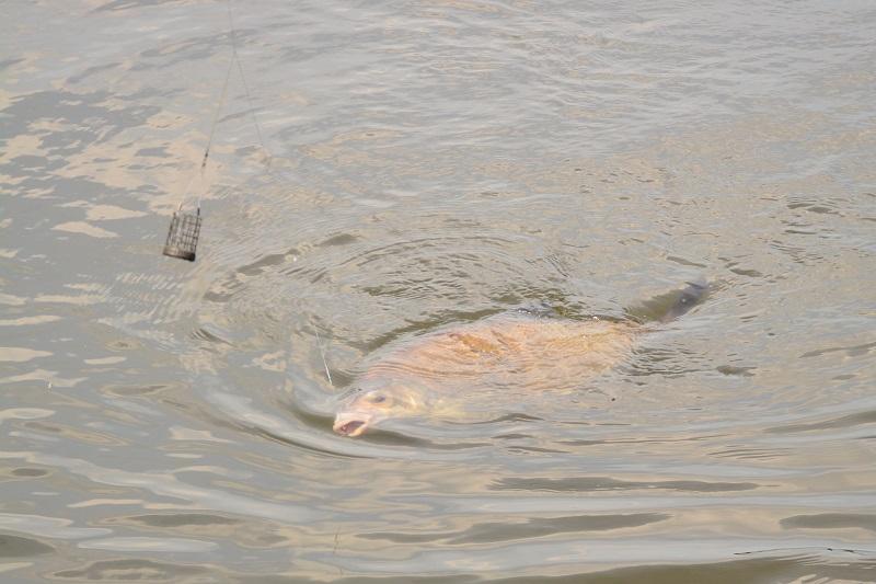 Hoe voer je een stek aan bij het feedervissen?
