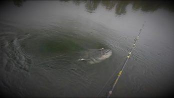 Klonken vanaf de kant - Zichtvisserij op Meerval