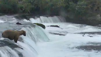 Zalm vangende grizzlies: ook beren moeten leren…