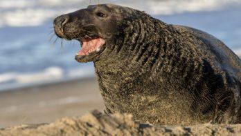 Populatie van grijze zeehond in Waddenzee blijft groeien