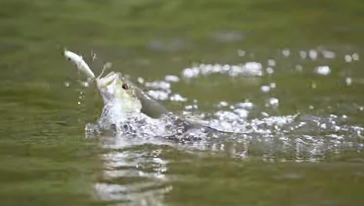 Vissen met 'topwaters': spectaculair & adembenemend spannend