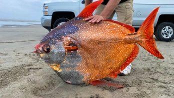 Kleurrijke Opah fish spoelt aan op Oregon beach