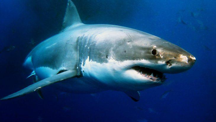 Shark Week Discovery zet de haai weer in de schijnwerpers