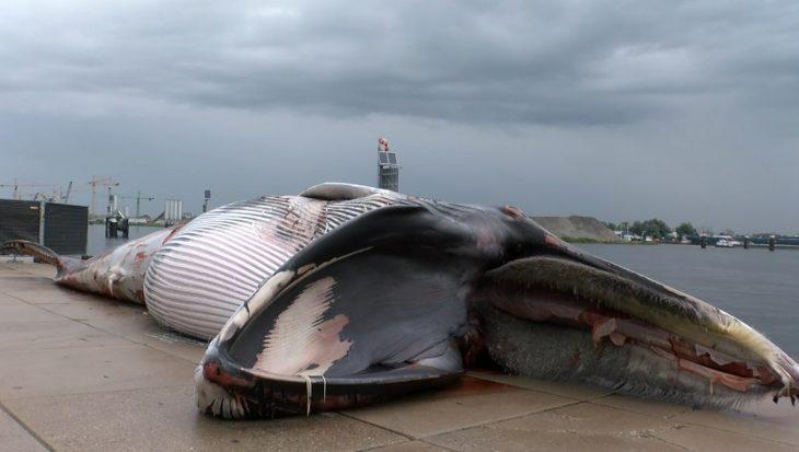 Dode vinvis lift vanuit zee mee naar Terneuzen