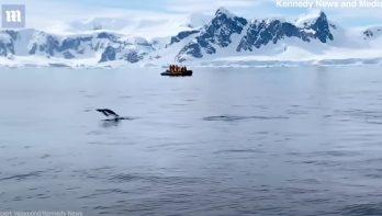 Slimme ezelspinguin ontsnapt aan slimme orka's