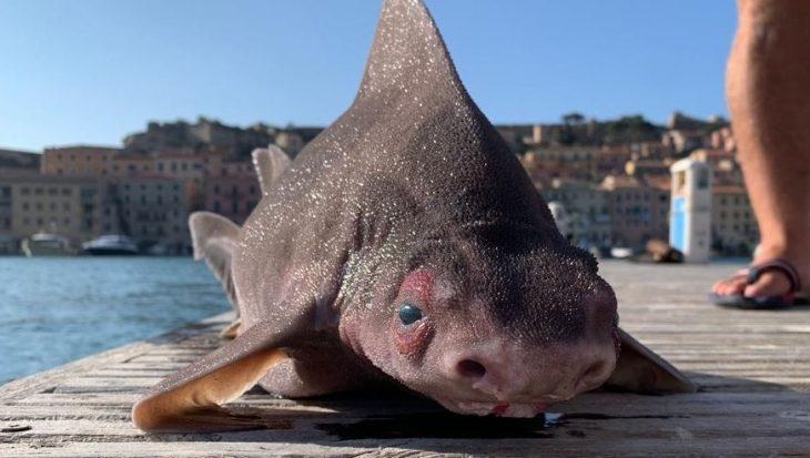 Zeldzame 'varkenshaai' spoelt aan op eiland Elba